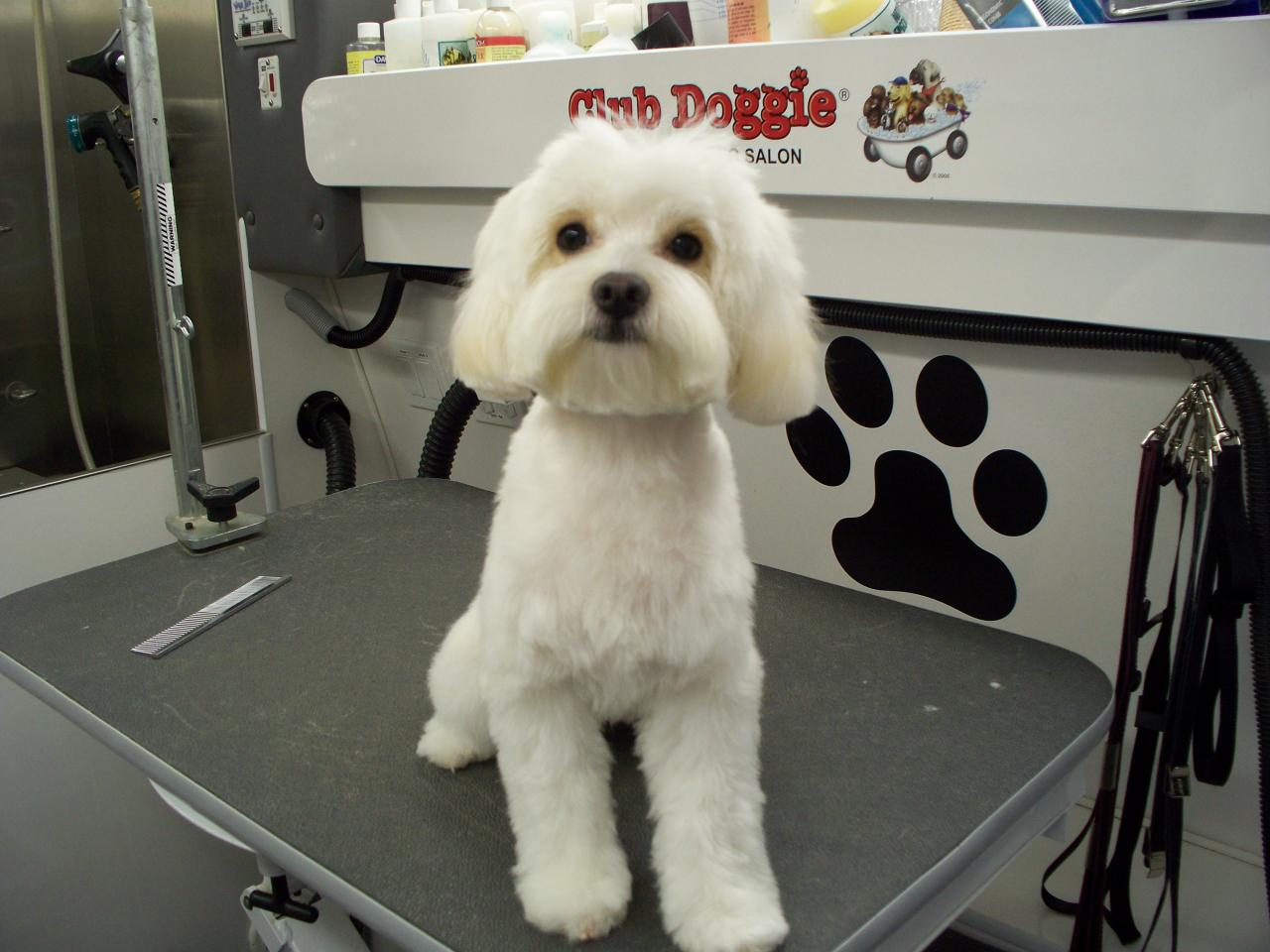 Maltipoo Haircut Pictures Haircuts Models Ideas