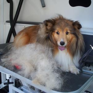 Sheltie - Before