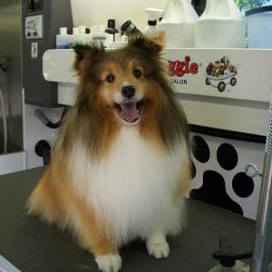 Sheltie - After