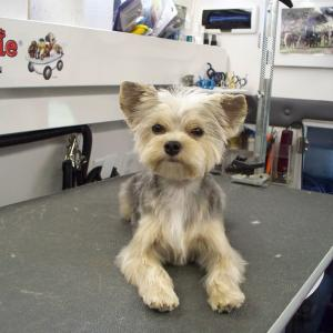 Morkie - After