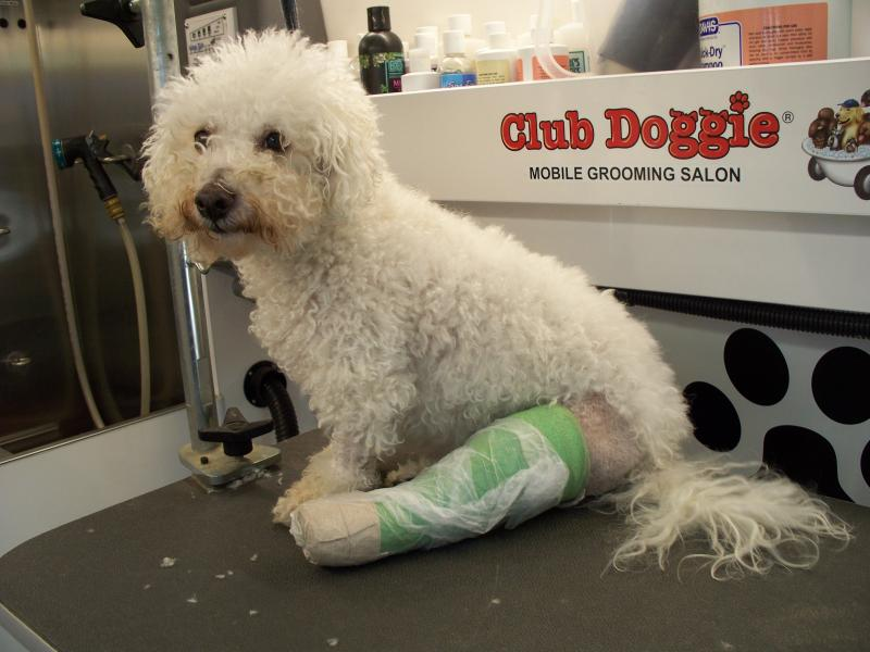Bichon Broken Leg, In Need of a Grooming!