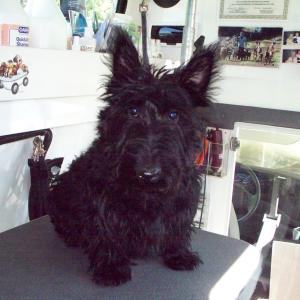 Scottie Puppy Before