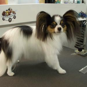 Papillon After Grooming