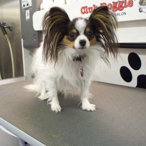 Papillon Before Grooming