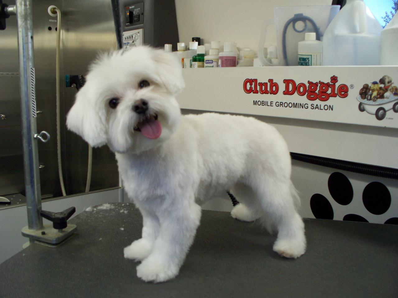 Stupendous Club Doggie Mobile Grooming Salon Before And After Photo Gallery Short Hairstyles For Black Women Fulllsitofus