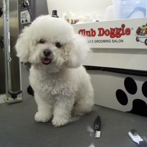 Bichon - Before Grooming