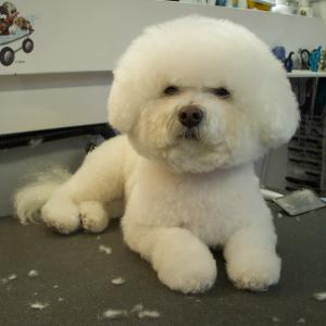 Bichon - After