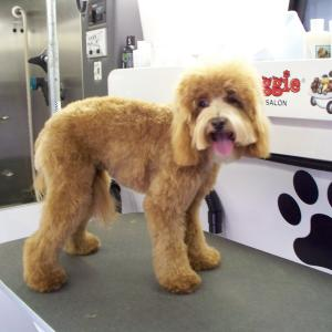 Labradoodle After Grooming