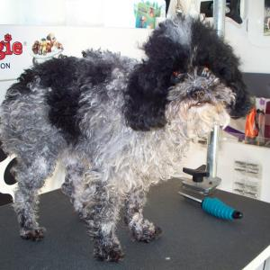 Toy Poodle Before