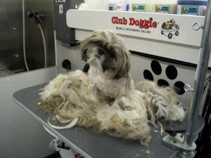 Sorry, does shih tzu shaved question