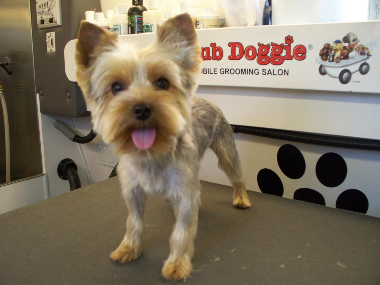 Club Doggie Mobile Grooming Salon Before And After Photo Gallery