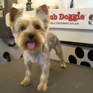 Yorkie Puppy Cut - After