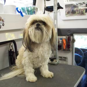 Shih Tzu - Before